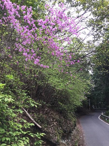 5月上旬のヤマツツジ。コントラストが非常に美しい。