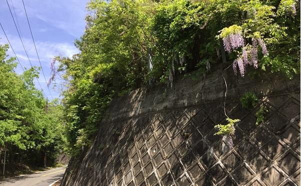 京見峠中間あたりの二車線区間。5月上旬は藤の花が美しい。