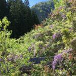 再舗装された芹生峠登ってみたら芹生の里5月桜に出くわす…!?